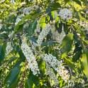 Prunus serotina (Black Cherry) flowers in May.Photo © Elaine Mills