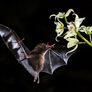 Bat pollinating in Costa Rica. Photo © 2019 Zdeněk Macháček