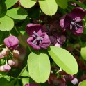 Invasive: Five-Leaved Akebia/Chocolate Vine (Akebia quinata) flowers in March.Photo © Mary Free