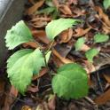 Rose of Sharon (Hibiscus syriacus) seedlings in November. Photo © Elaine Mills