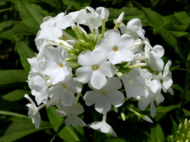 Phlox paniculata (Garden Phlox) flowers on July 4th.Photo © Mary Free