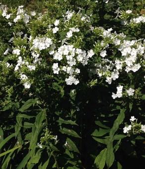 Phlox paniculata (Garden Phlox) in August.Photo © Deanna Pineda