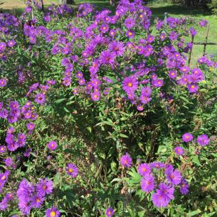 Tall stalks of New England aster (Symphyotrichum novae-angliae) in the parking lot garden
