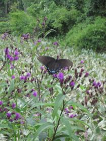 A stand of ironweed (Vernonia noveboracensis) at the Kenilworth Aquatic Garden draws a swallowtail.