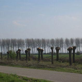 Newly pollarded trees