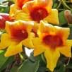 Bignonia capreolata (Cross-vine) flowers in late April. Photo © Mary Free