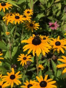 Rudbeckia fulgida (Orange Coneflower) flowers with insects in August. Photo © Elaine Mills