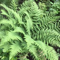 T: Dryopteris marginalis (marginal wood fern)