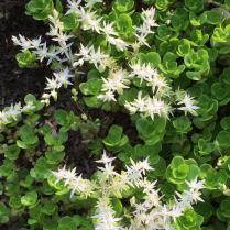 S: Sedum ternatum (wild stonecrop)