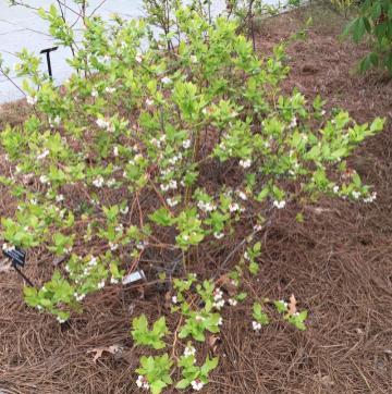 Vaccinium corymbosum (Northern) Highbush Blueberry shrub in April. Photo © Elaine Mills