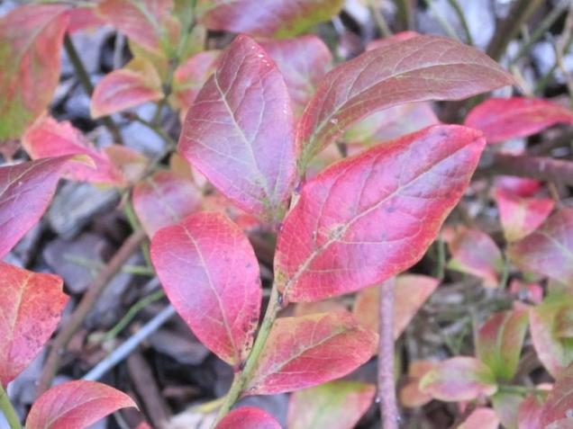 Vaccinium corymbosum (Northern) Highbush Blueberry leaves. in October. Photo © Elaine Mills