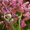Two-spotted bumble bee on Eutrochium dubium (Three-nerved (Coastal Plain) Joe-pye-weed) in August.Photo © Mary Free