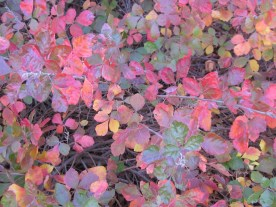 Fall leaves of Rhus aromatica 'Gro-Low' (Fragrant Sumac) at the Fairlington Community Center in October.Photo © Elaine Mills
