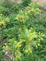 Sassafras albidum (Sassafras) flower clusters in April. Photo © Elaine Mills