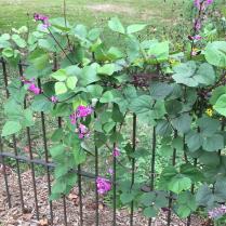 Dolichos lablab (purple hyacinth bean) vine on fence at Glencarlyn Library Community Garden. Photo © Elaine Mills