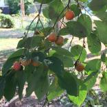 Ripening persimmon (Diospyros virginiana) fruit in September. Photo © Elaine Mills