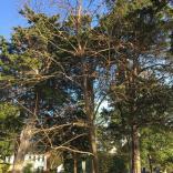 Persimmon (Diospyros virginiana) tree in November. Photo © Elaine Mills