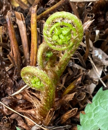 Ramenta on the fiddleheads of Dryopteris marginalis (marginal wood fern) in April. Photo © Elaine Mills
