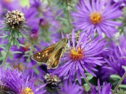 Sachem skipper on Symphyotrichum novae-angliae 'Purple Dome' in October. Photo © Mary Free