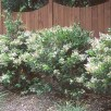 Japanese privet (Ligustrum japonicum) in landscape.Photo © Oregon State University