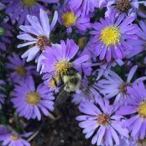 Bumblebee on Aromatic Aster (Symphyotrichum oblongifolium)
