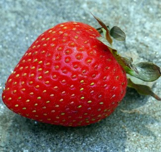 In Fragaria (strawberry), achenes are distributed in a Fibonacci spiral pattern on the outside of the receptacle. Photo © Mary Free