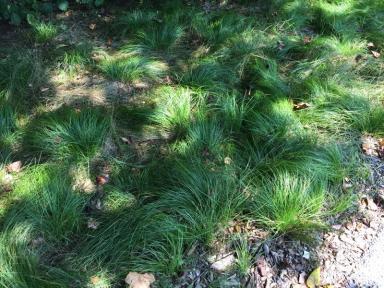Carex pensylvanica (Pennsylvania sedge) .en masse in August Photo © Elaine Mills