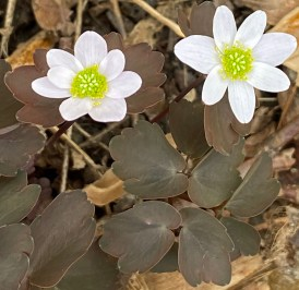 Thalictrum thalictroides (rue anemone) in March. Photo © Elaine Mills