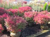 Invasive Burning Bush (Euonymus alatus) is still carried by most nurseries and big box stores. Photo © Elaine Mills