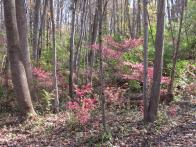 The extent of how invasive Burning Bush (Euonymus alatus) can be is seen in this series of photographs of woods in Novemberl Photo © Elaine Mills
