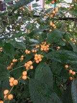 Ilex verticillata 'Winter Gold' in October. Photo © Elaine Mills