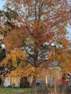 Liquidambar styraciflua (Sweetgum) by the Glencarlyn Library Community Garden in December. Photo © Elaine Mills
