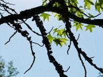 The corky, winged branches of Liquidambar styraciflua (Sweetgum) in May. Photo © Mary Free