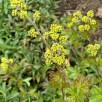 Rhus aromatica 'Gro-Low' (Fragrant Sumac) flowers in April.Photo © Elaine Mills