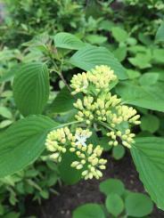 Cornus alternifolia (Pagoda Dogwood) flower buds in May. Photo © Elaine Mills