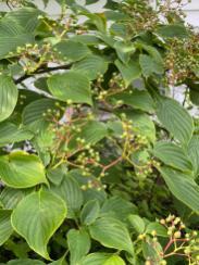 Cornus alternifolia (Pagoda Dogwood) fruit in June. Photo © Elaine Mills