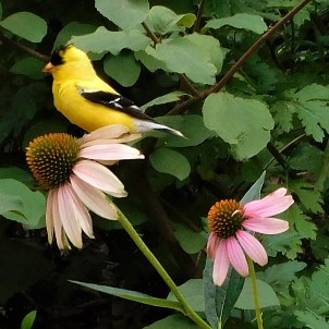 Spinus tristis (American goldfinch) on Echinacea purpurea (Purple Coneflower) in August. Photo © Christa Watters