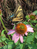 Papilio glaucus (eastern tiger swallowtail butterfly) on Echinacea purpurea (Purple Coneflower) in July.Photo © Elaine Mills