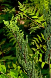 Bead-like, sori-containing capsules sit atop the sterile, egg-shaped leaflets of Osmunda spectabilis (royal fern) in May. Photo © Mary Free