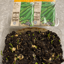 This is a repurposed quart- sized clamshell with holes. You can see part of the coffee filter used as a liner. This lets water through, but keeps soilless mix in place. These are peas, started a week earlier.