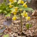 Bicolor barrenwort (Epimedium x versicolor 'Sulphureum') Photo © Elaine Mills