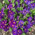 Primrose (Primula ssp.) Photo © Elaine Mills