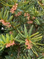 Male strobili of Taxus x media (yew) in March. Photo © Elaine Mills