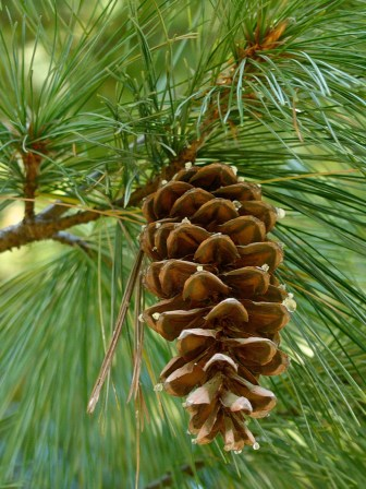 Female strobilus of Pinus strobus (eastern white pine) in October. Notice the drops of resin at the tips of some scales. Photo © Mary Free