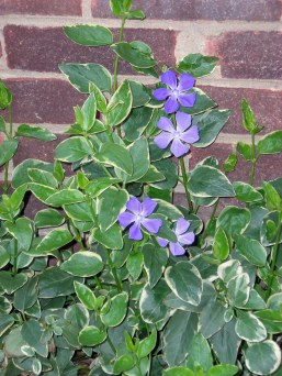 Invasive Vinca major 'Variegata' (greater periwinkle) in March. Photo © Christa Watters