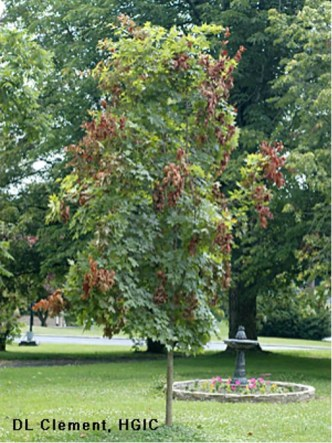 Flagging damage on a young maple tree. Photo © D.L. Clement, UMD