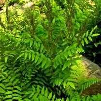 Bipinnate frond dissection of Osmunda spectabilis (royal fern). Photo © Mary Free