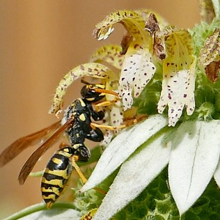 As the European paper wasp reaches in to sip the nectar of Monarda punctata (spotted beebalm), two anthers located at the tip of the upper flower lip will brush against its thorax depositing pollen.Photo © Mary Free