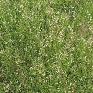 Native poverty oat grass (Danthonia spicata) Photo © Marilee Lovit