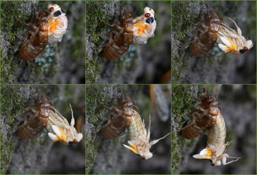 These pictures were taken between 7:03–7:30 a.m. The cicada finally frees itself around 7:52 a.m., but instead of grabbing its exoskeleton to pull itself out, it dropped a couple of feet to the ground below. Photo © Mary Free